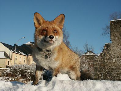 Der Fuchs soll gar nicht mehr gejagt werden dürfen: Die Jäger sind nicht einverstanden.
