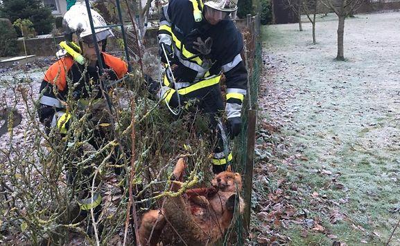 Der Fuchs konnte aus seiner misslichen Lage befreit werden.