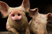 La peste porcine africaine touche exclusivement les sangliers et les porcs mais le virus ne se transmet pas à l'homme.