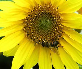 Biene auf Honig suche