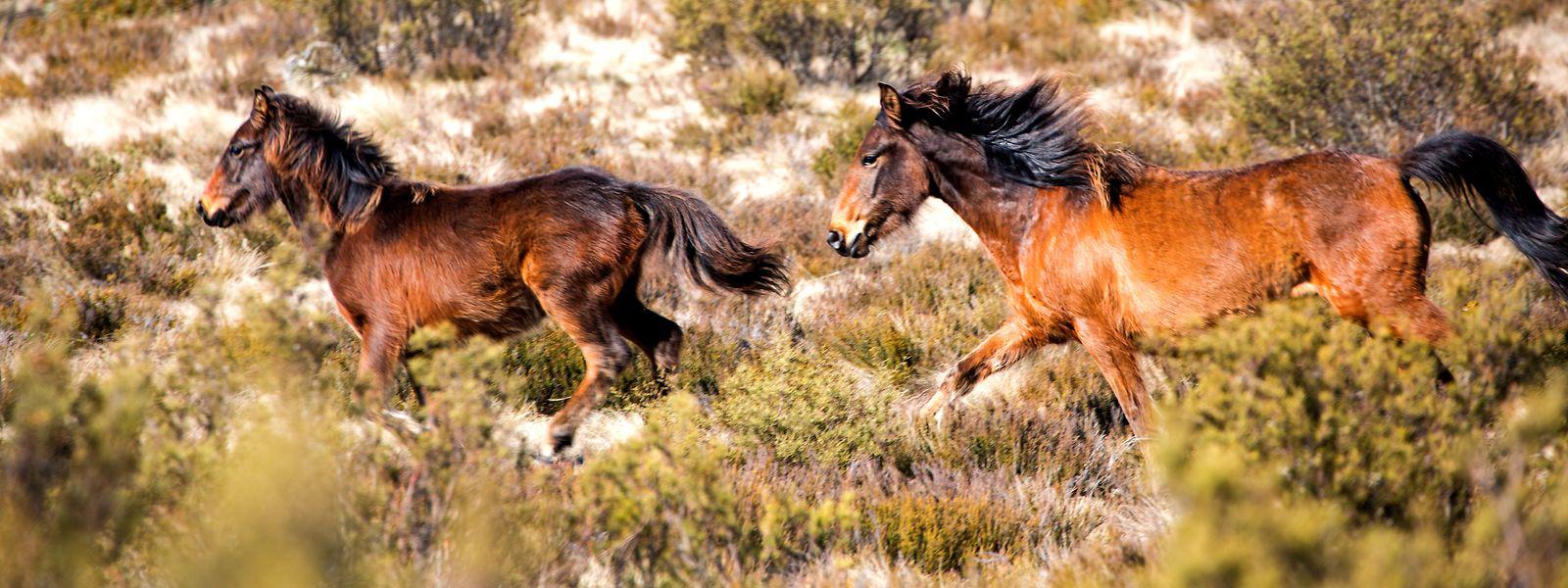 Die Zahl der wilden Pferde – genannt Brumbys – wird in Australien auf circa 25.000 geschätzt.