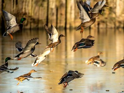 """An outbreak of avian influenza H5N8, """"highly pathogenic"""" for birds but """"harmless to humans"""", was detected in a duck farm in the Tarn commune of Almayrac"""