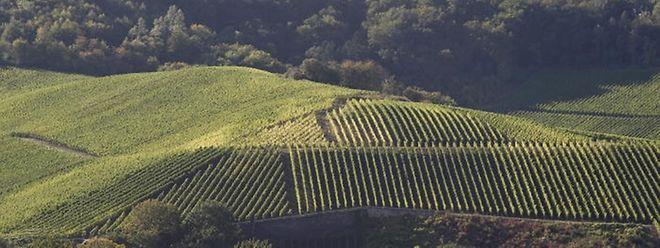 Das Weinanbauareal an der Luxemburger Mosel erstreckt sich auf 1300 Hektar Land.