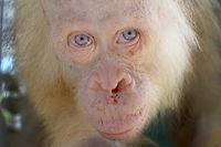 ARCHIV - 30.04.2017, Indonesien, ---: HANDOUT - Das undatierte Handout zeigt einen etwa fünf Jahre alten weiblichen Albino-Orangutan in einer Auffangstation der  «Borneo Orangutan Survival Foundation» auf Borneo (Indonesien). Der vermutlich einzige weiße Orang-Utan der Welt, ein Weibchen namens Alba, darfzurück in dieFreiheit. Das etwa sieben Jahr alte Tier soll diese Wochein den Dschungel der Insel Borneo ausgewildert werden, wie die indonesische Regierung und die Tierschutzorganisation BOS am Dienstag (18.12.2018) mitteilten. Foto: -/BOSF - Indrayana/AP/dpa - ACHTUNG: Nur zur redaktionellen Verwendung im Zusammenhang mit der aktuellen Berichterstattung und nur mit vollständiger Nennung des vorstehenden Credits +++ dpa-Bildfunk +++