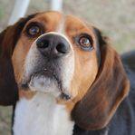 Cães conseguem 'cheirar' o cancro nos humanos