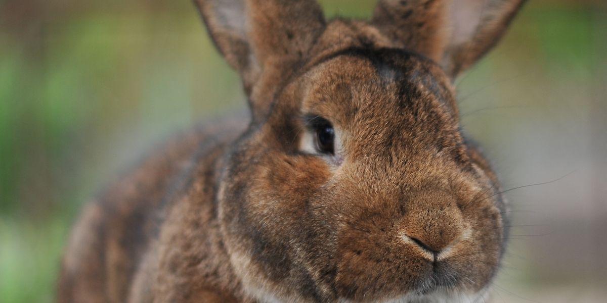 Die Wienerkaninchen gehören zu der mittelgroßen Kaninchenklasse. Sie wurden erstmals in Wien gezüchtet.