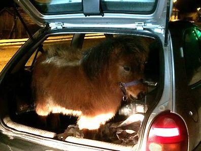 Das Shetland-Pony ließ die Autofahrt gutmütig über sich ergehen.