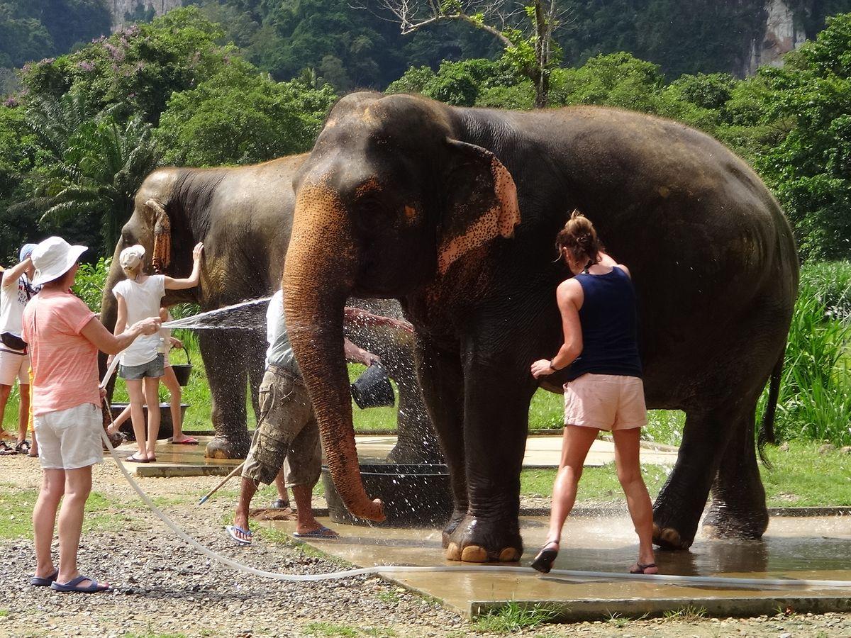 """Wischiwaschi: In der """"Elefanten-Waschanlage"""" im Elephant Hills Camp im Khao-Sok-Nationalpark werden die Besucher bei der Dickhäuterpflege gefordert."""