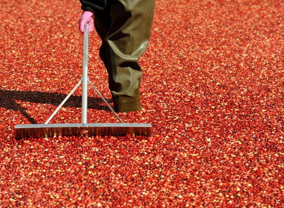 Reife Cranberrys haben eine knallig rote Farbe und sind reich an Vitaminen.