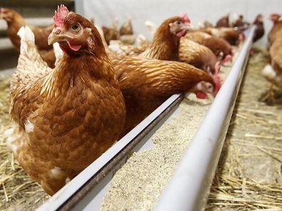 Der Ausbau der Geflügelproduktion scheitert an der mangelnden Akzeptanz in der Bevölkerung.