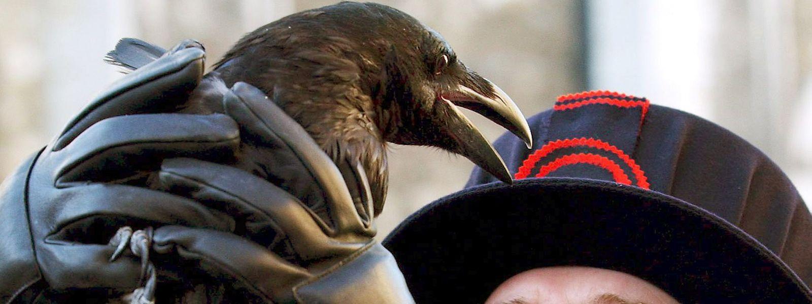 """Der """"Ravenmaster"""" des London Tower mit einem seiner Schützlinge."""