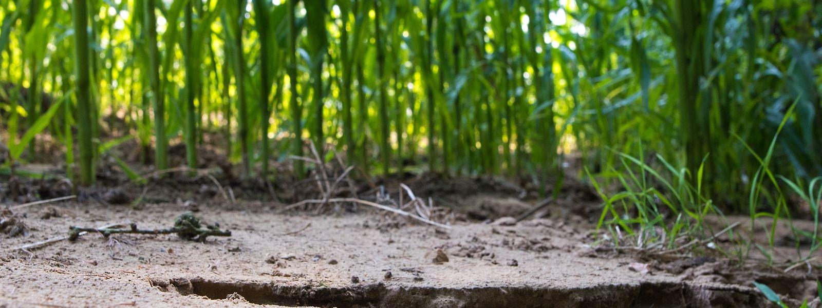 Die Fließspuren des Wassers sind auch jetzt noch in den Maisfeldern zu sehen.
