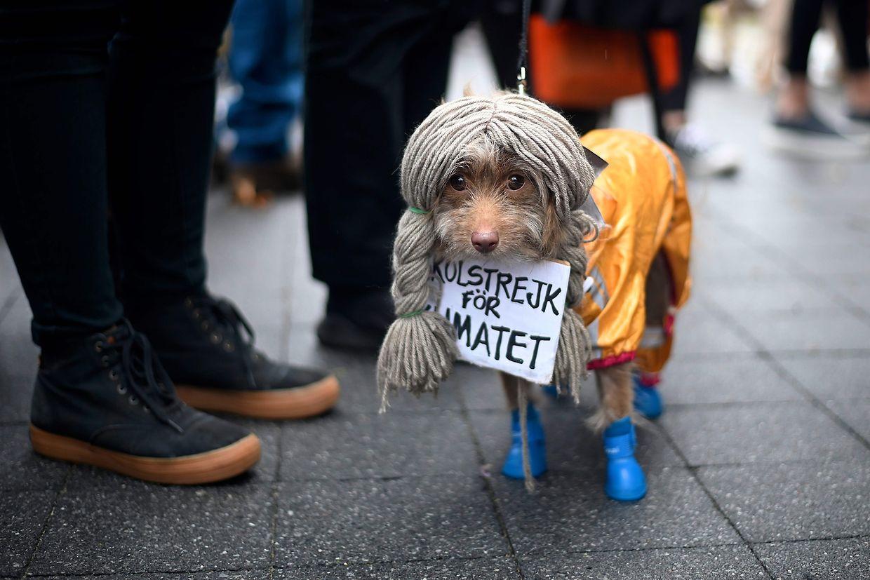 Um cão disfarçado de Greta Thunberg no desfile de Halloween canino em Manhattan, Nova Iorque