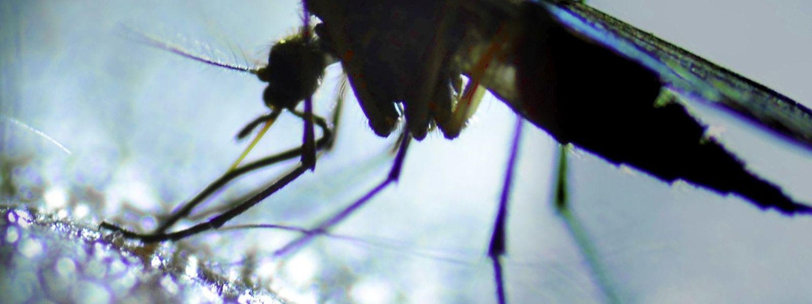 Malgré un premier cas de virus Zika au Luxembourg, le pays ne risque a priori pas grand chose