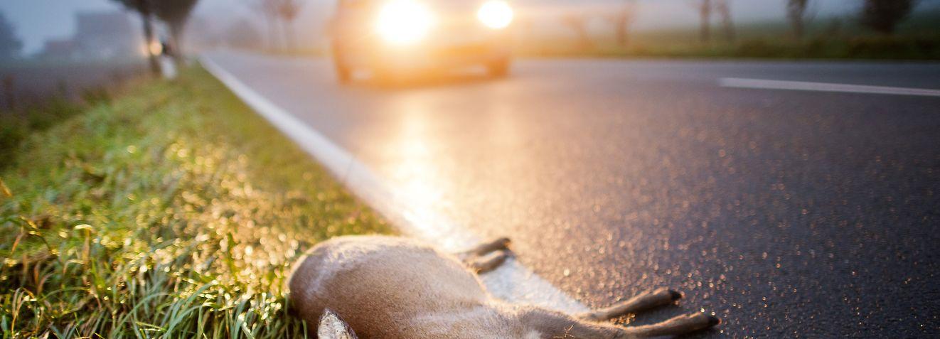 ARCHIV - 30.10.2014, Niedersachsen, Hannover: Ein totes Reh liegt nach einem Unfall am Straßenrand. (zu dpa: «MLV stellt Piep-Projekt gegen Wildunfälle vor» vom 09.10.2018) Foto: Julian Stratenschulte/dpa +++ dpa-Bildfunk +++