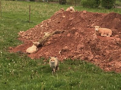 One of the foxes that regularly visits sheep in west Luxembourg.