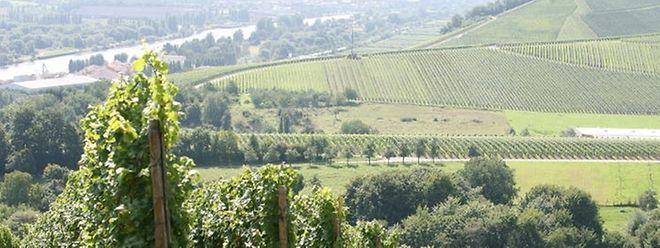 As vinhas da região da Mosela luxemburguesa