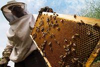 Bienenzucht wird zu einem immer beliebteren Hobby. Waren es im Mai 2018 noch 5878 Bienenvölker, so sind es zurzeit mehr als 6500. Doch jeden Winter stirbt wieder ein Teil der Völker.