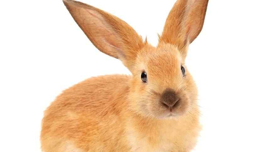 Kokzidiose ist ein vielverbreitetes Phänomen unter Kaninchen.