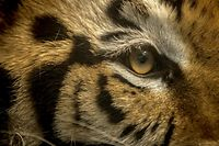 """(FILES) In this file photo a bengal tiger (Panthera tigris tigris) is seen at the zoo in Culiacan, Sinaloa state, Mexico, on May 26, 2020. - Police in an upscale Texas neighborhood searched on May 11, 2021 for a fugitive Bengal tiger that was seen roaming on lawns and streets until its apparent owner fled with the animal. That man, who already had legal troubles, was arrested Monday night for felony evasion of arrest after loading the tiger into a car and driving away, just as police arrived at his home in Houston. But there was no sign of the big cat.""""The tiger portion of the investigation is continuing,"""" Houston police tweeted after the arrest of 26 year old Victor Hugo Cuevas, whose lawyer insisted the tiger does not belong to Cuevas. (Photo by RASHIDE FRIAS / AFP)"""
