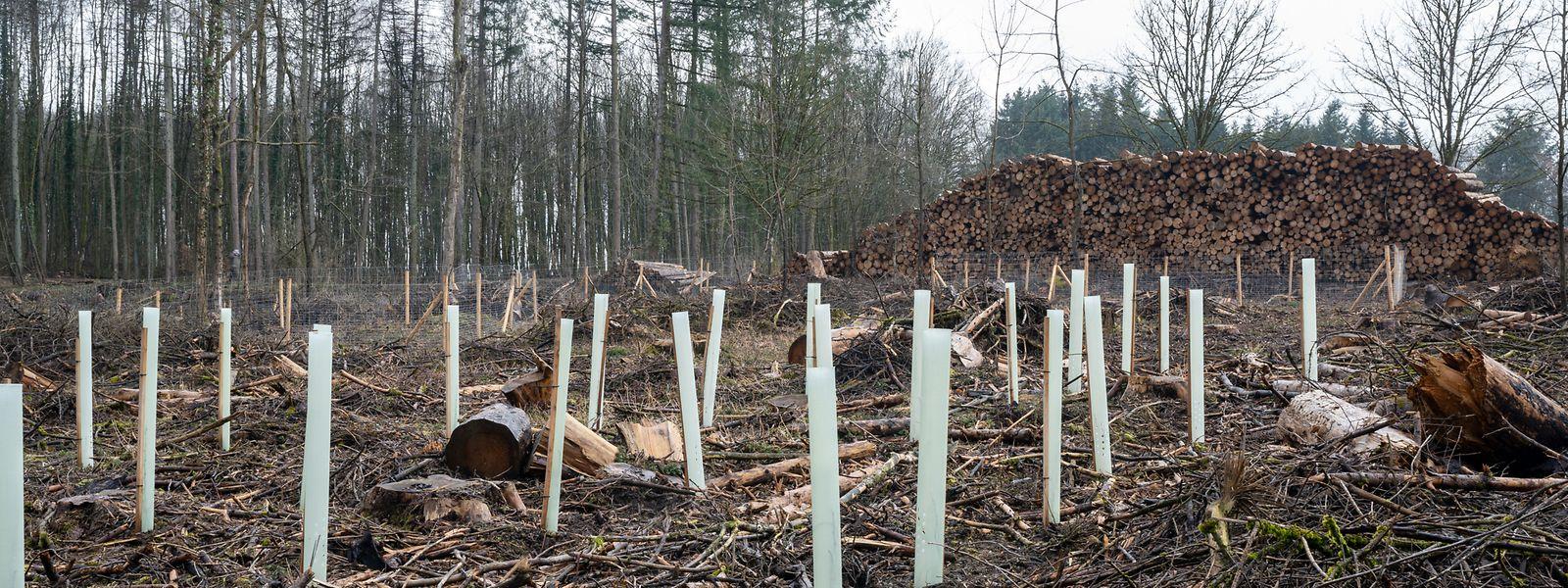 Mit Aufforstungsprojekten sollen abgestorbene Fichtenflächen mit Mischwäldern ersetzt und der Wald fit für den Klimawandel gemacht werden.