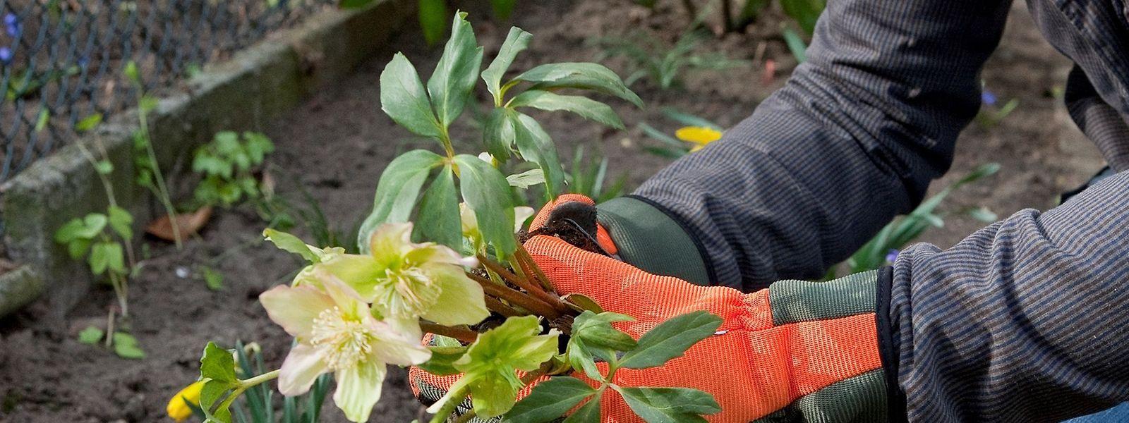 Die Christrose kann im Frühling ins Freie umziehen, wenn es draußen etwas wärmer ist. Gut ist ein Boden mit hohem Humusgehalt.