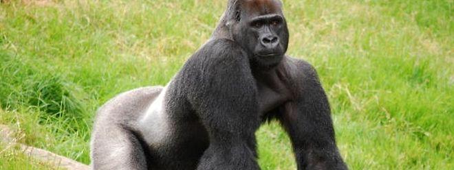 Gorillas können sich laut Primatologen in andere Individuen hineinversetzen.