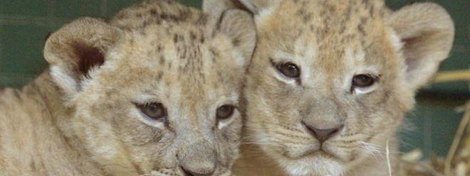 Löwenbabys spielen in einem Gehege. Nachdem sie als Streicheltiere ausgedient haben, enden sie oft in so genannten Gatterjagden.