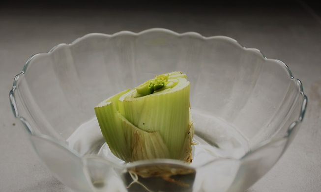 Celery regrowing in water