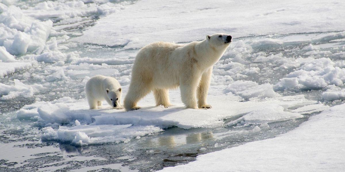 Der Eisbär ist zum Symbol des Klimawandels geworden. Die Art droht mit den Eisschollen im Polarmeer zu verschwinden.