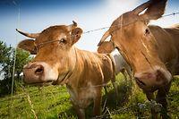 Kuh, Kühe, Vache, Rend, Landwirtschaft, Agriculture, Foto Lex Kleren