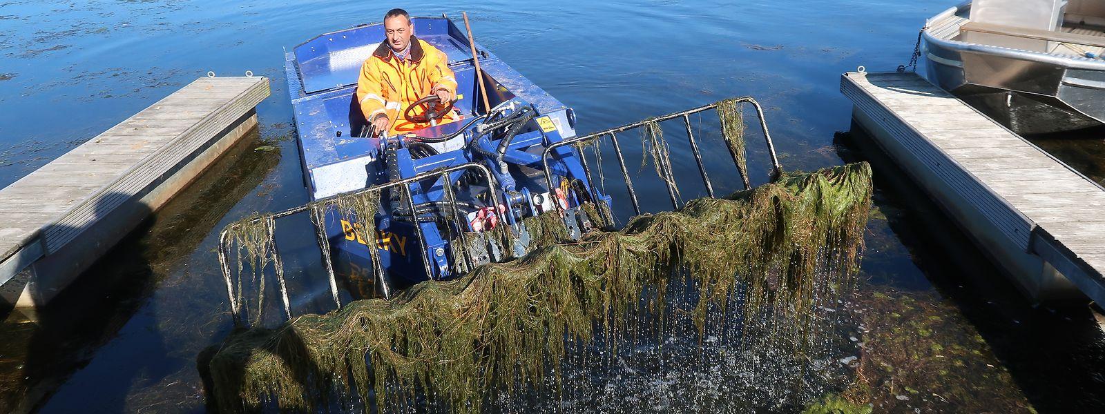 Eric ist Angestellter bei der Gemeinde Weiswampach und entfernt mithilfe eines gemieteten Boots jenes Gewächs, das sich in den vergangenen Wochen im unteren See in Weiswampach breit gemacht hat.