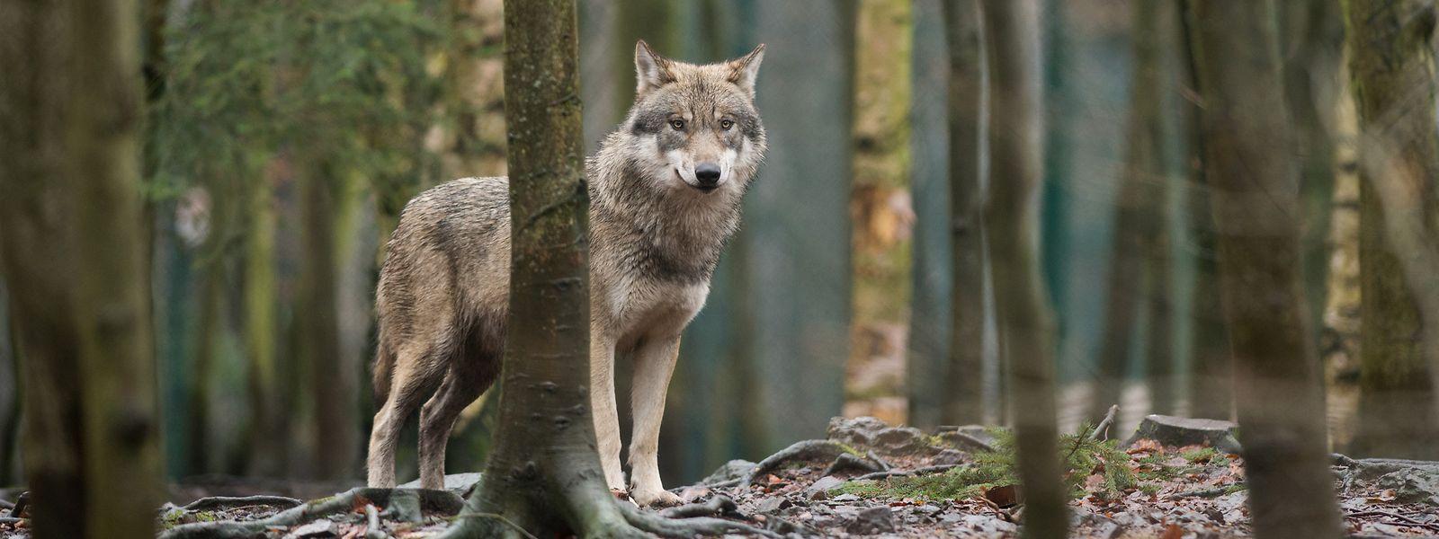 Ein Wolf steht im Tierpark Hexentanzplatz im Harz in seinem Gehege.
