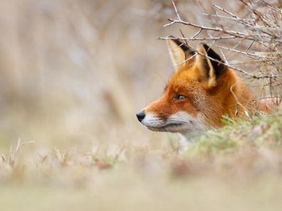 Nach dem Verbot der Fuchsjagd hat der Jägerverband eine Nichtigkeitsklage eingereicht.
