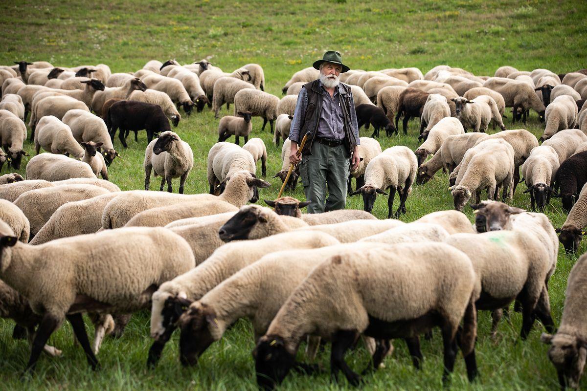 Gunther Czerkus preside à Associação dos Pastores Profissionais da Alemanha e todos os dias leva o seu rebanho a pastar a escassos metros da fronteira com o Luxemburgo. O regresso do lobo ao país também é problema dele.