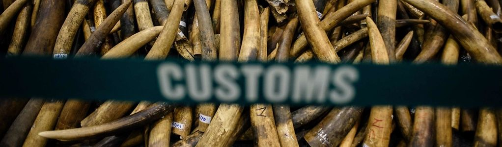 Im Juli konnten die Behörden in Hong Kong den größten Coup gegen illegale Elfenbeinschmuggler feiern. Zwar ist der Handel nun verboten, allerdings gelten für Hong Kong Ausnahmebestimmungen.
