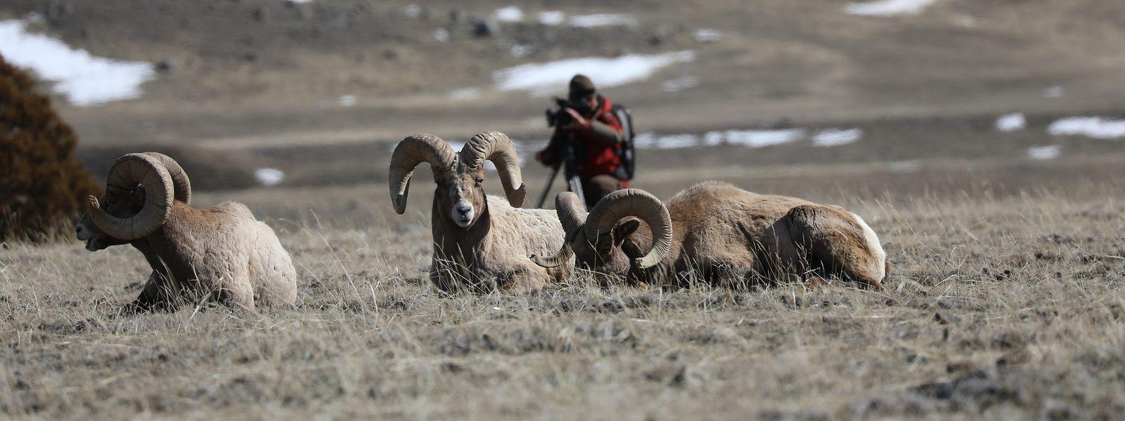 Andreas Kieling beobachtet Dickhornschafe, die wilden Bewohner des Yellowstone-Nationalparks.