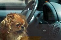 Ab einer bestimmten Temperatur können Tiere ihre Körpertemperatur nicht mehr regulieren. In erhitzten Fahrzeugen besteht für sie Lebensgefahr.