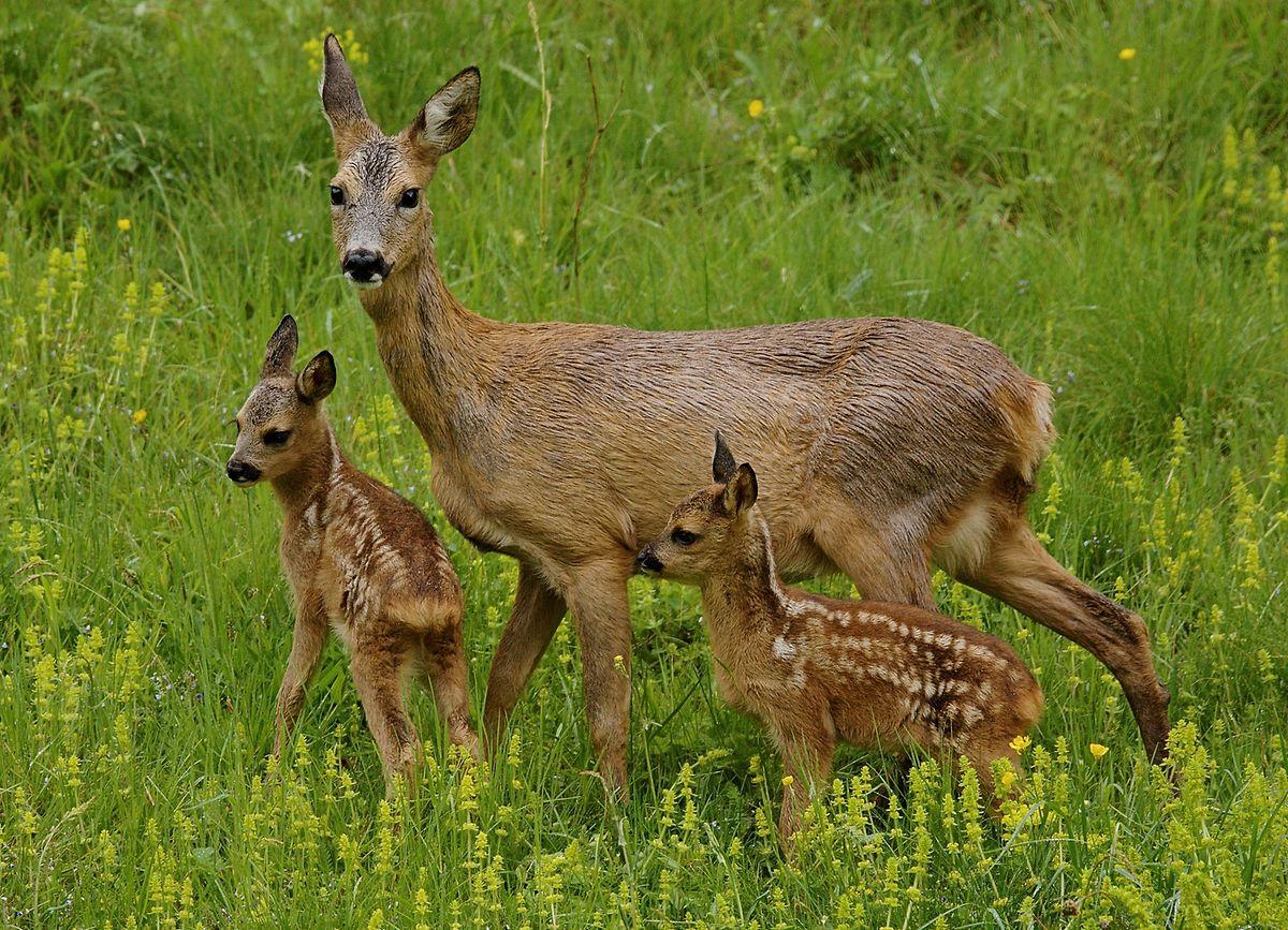 Uma família de corços luxemburgueses