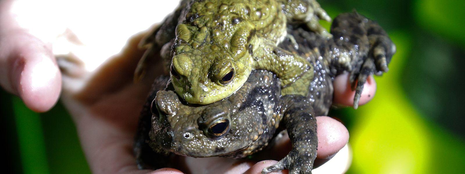 Die kleineren Männchen klammern sich während der Wanderungen gerne an größere Weibchen und lassen sich von ihnen tragen