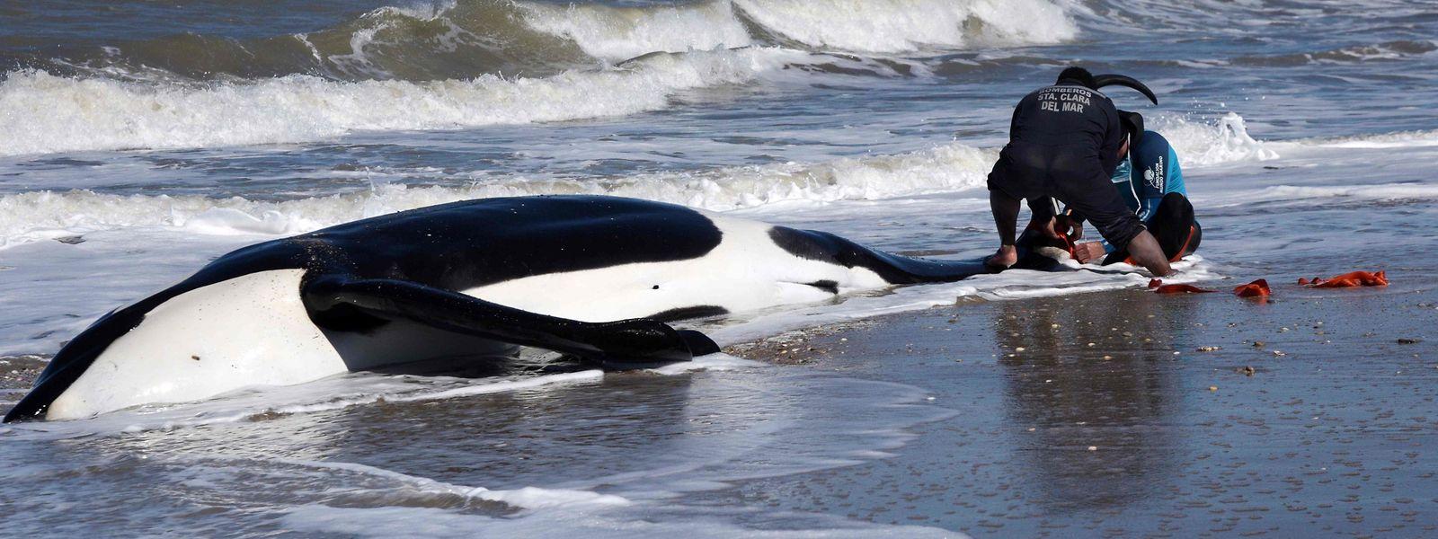 Sechs der sieben gestrandeten Orcas konnten gerettet werden.