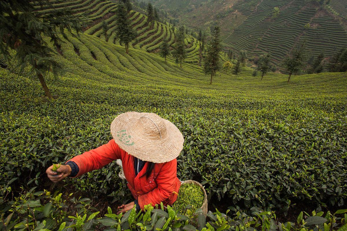 """""""Ich dachte immer, Tee wäre ein Beutel in einer Tasse heißem Wasser. Aber als wir die in Kleinstmengen angebauten Tees vor Ort erkundet haben, hat sich meine Wahrnehmung komplett verändert"""", so Roux."""