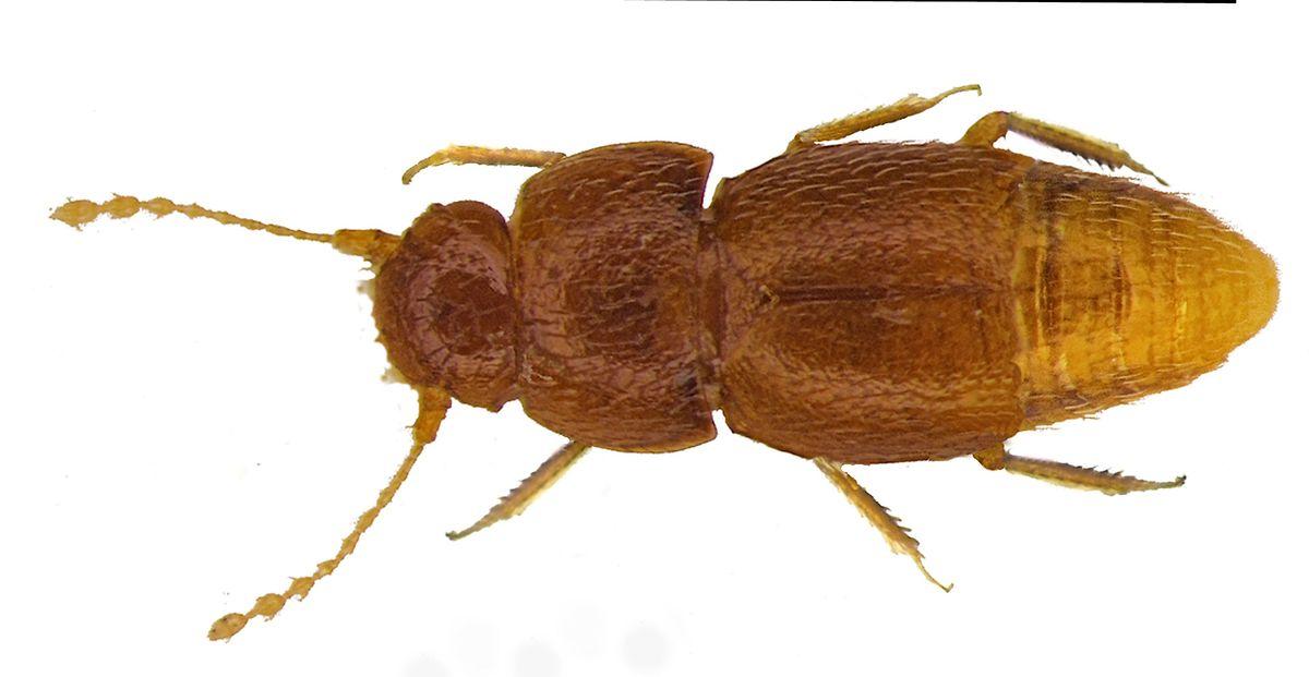 Der Nelloptodes gretae gehört zur Familie der Zwergkäfer und ist nur rund einen Millimeter groß.