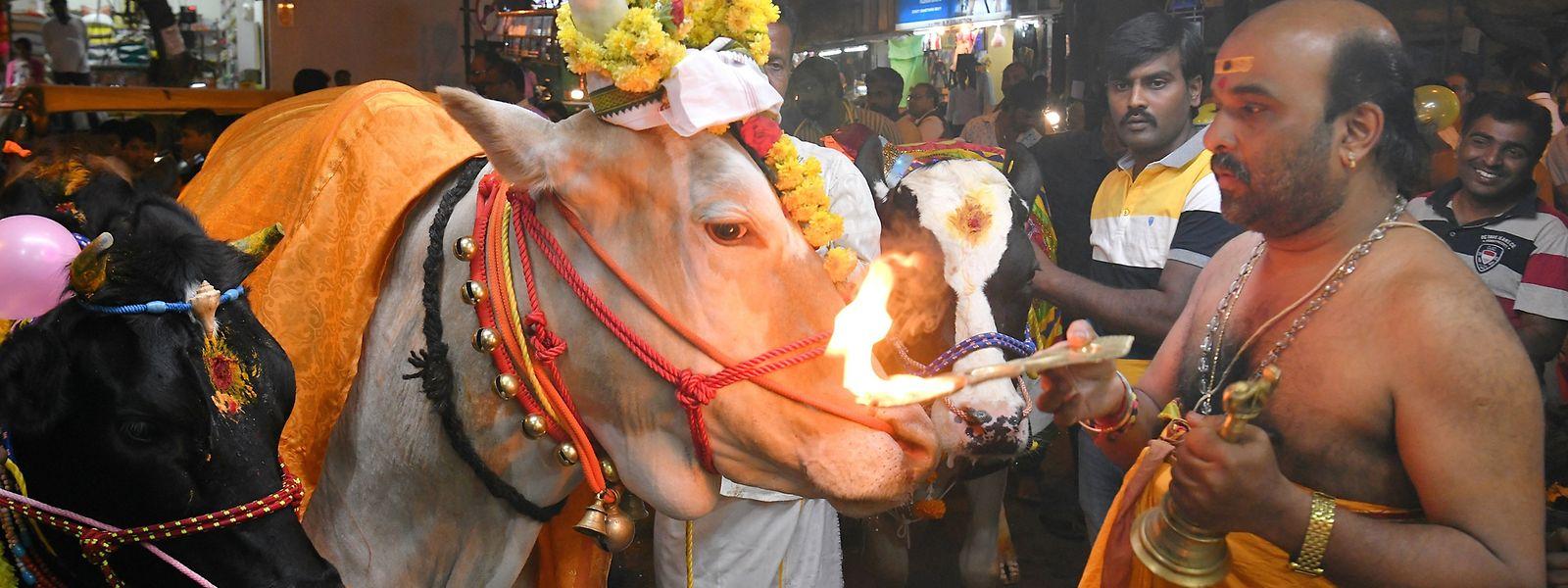 Kühe sind Hindus in Indien heilig, weil sie den Menschen mit lebensnotwendigen Dingen versorgen.