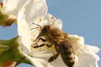 Die Krankheit infiziert nur die Larven der Bienen.