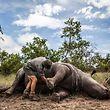 """ARCHIV - 04.02.2015, Südafrika, Skukuza: Ein Wildhüter und Ermittler steht im Krüger-Nationalpark bei Skukuza  neben einem von Wilderern getöteten Nashorn. (zu dpa-Korr """"Gute Taten, schmutzige Hände:Die schweren Vorwürfe gegen den WWF"""") Foto: Salym Fayad/EPA/dpa +++ dpa-Bildfunk +++"""