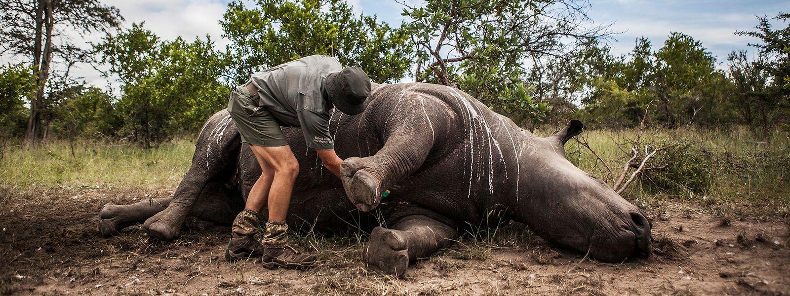 Ein Wildhüter und Ermittler steht im Krüger-Nationalpark bei Skukuza (Südafrika) neben einem von Wilderern getöteten Nashorn.