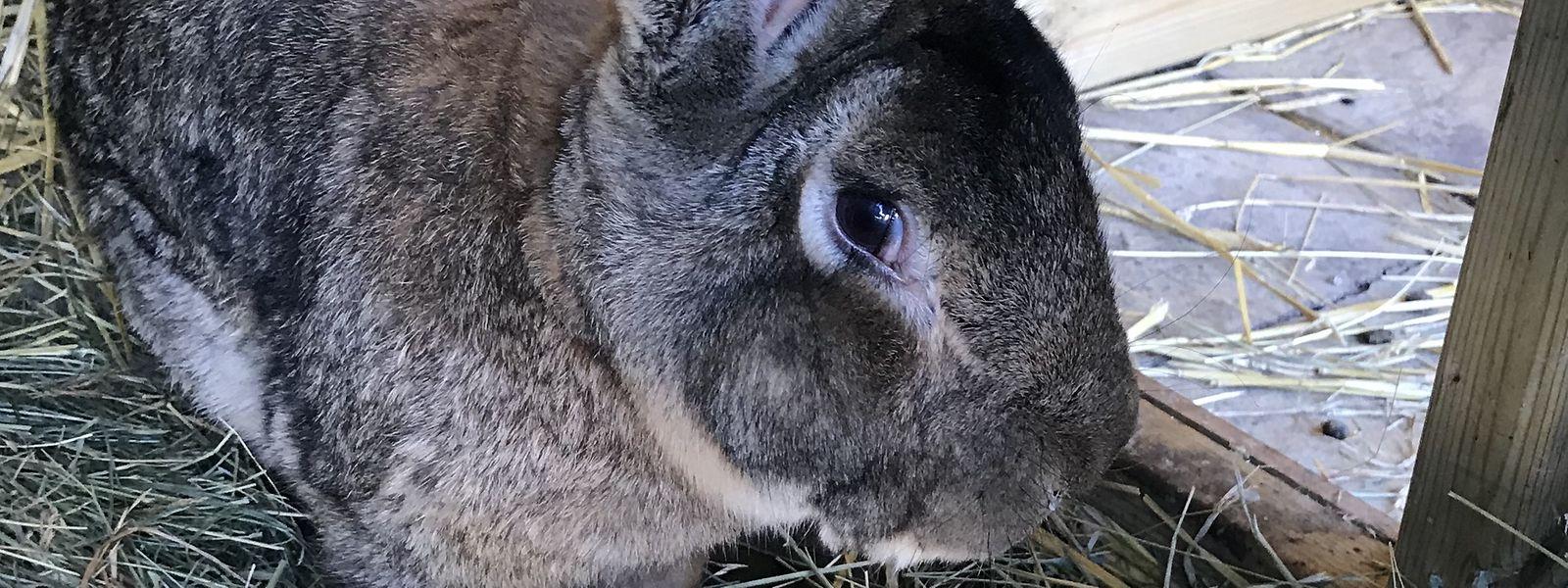Com 1,29 metros de comprimento, Darius detém o título de maior coelho vivo do mundo pelo Livro de Recordes do Guinness.