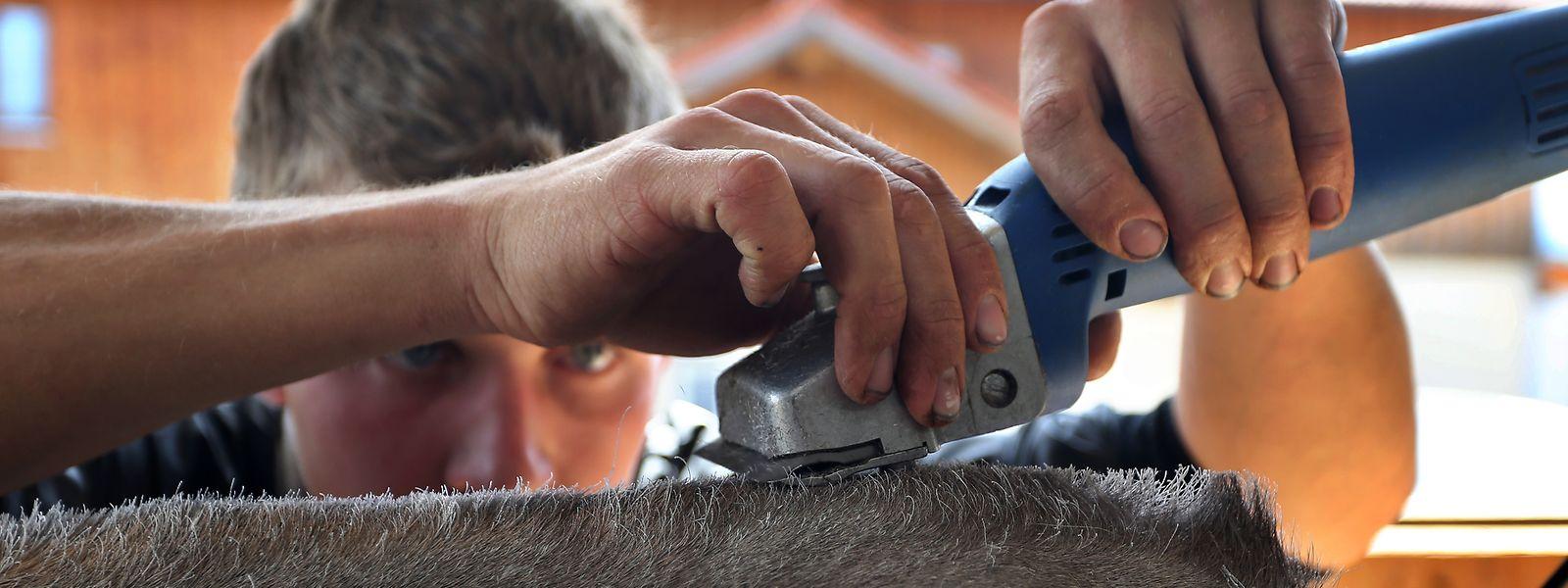 Tobias Guggemos, Kuhfitter und Landwirt, schert auf seinem Bauernhof die vierjährige Swiss-Brown Kuh Granit.