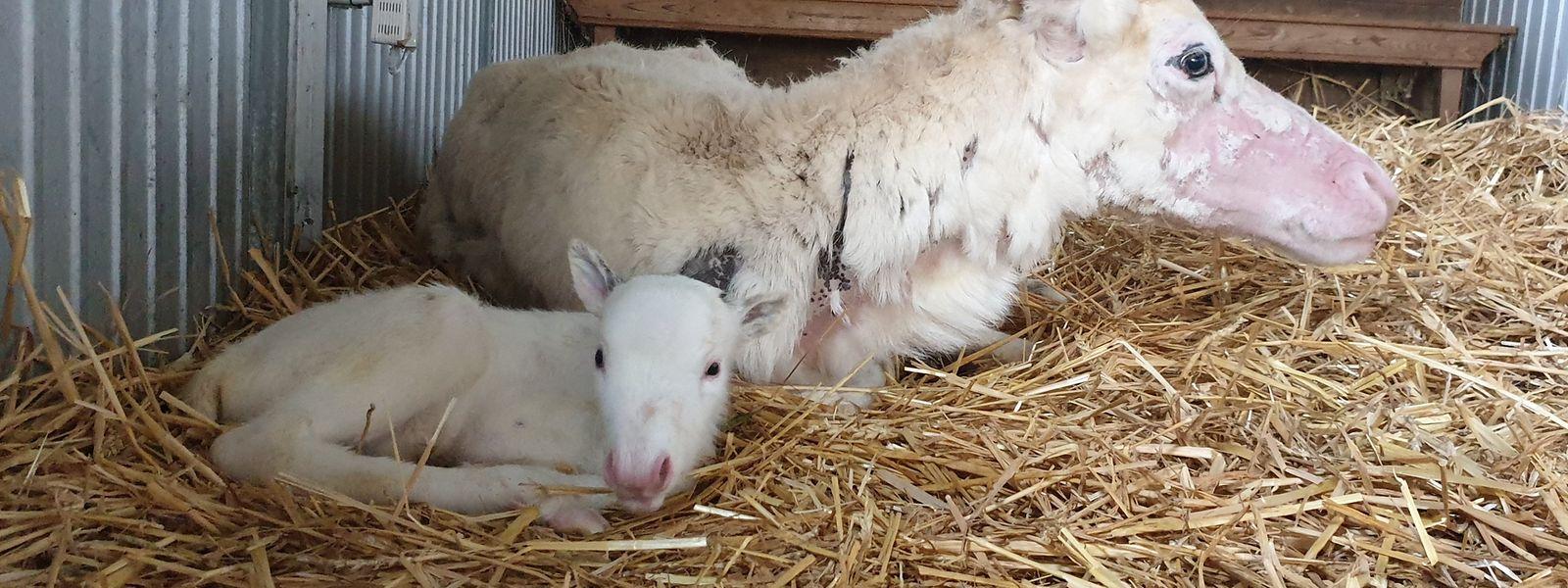 Das weiße Rentierbaby Nala liegt vor seiner Mutter auf Stroh in einem Stall der Rentieralm. Das Tier wurde am 09.06.2020 geboren.